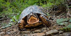 Box Turtle, George Washington National Forest