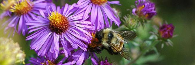 Rusty Patch Bumble Bee Comments on Duncan Knob Proposal