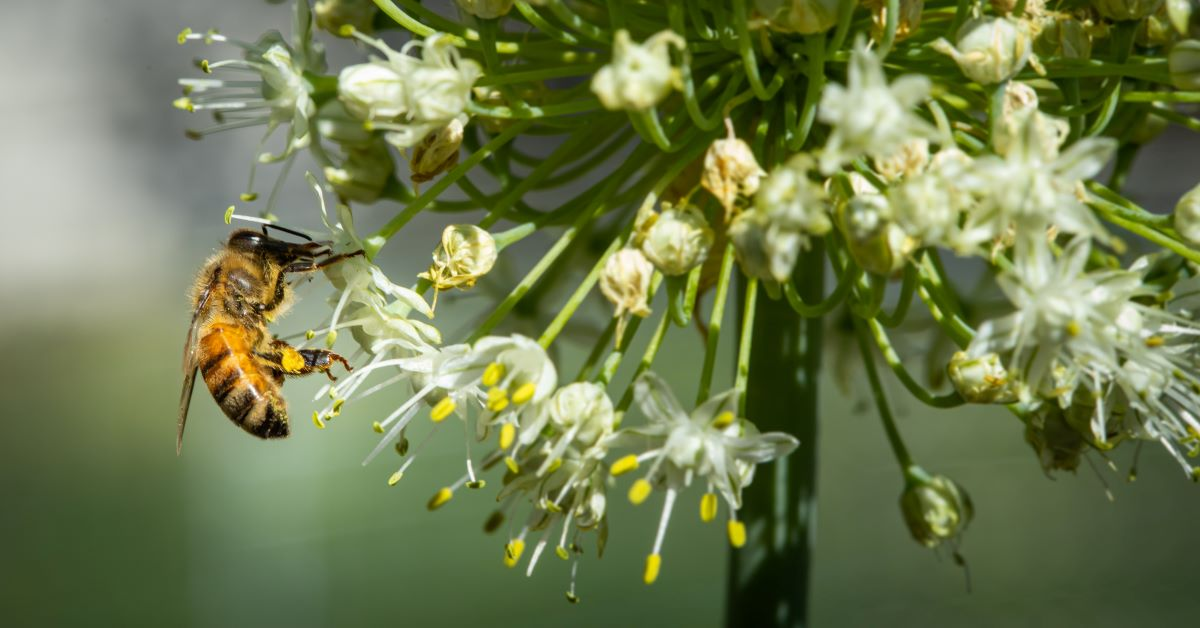 A western honey bee (Apis mellifera) gathers pollen on onion flowers in Boise, Idaho. 6/30/2021. USDA photo by Kirsten Strough.